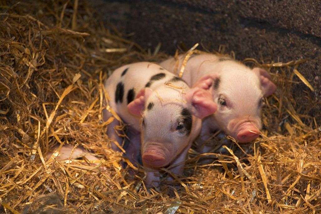 Piglets at Shallowford