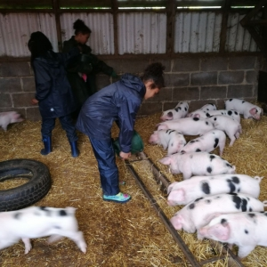 Feeding all the porkers