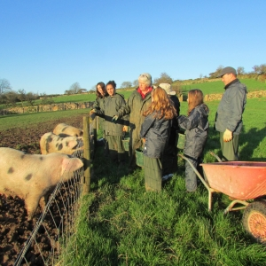 Feeding the pigs in the field