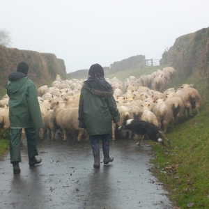 moving the sheep